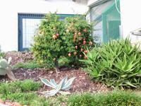 Granatapfelbusch