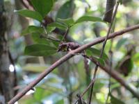 Ranomafana Nationalpark - Wanderung - Chamäleon