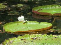 Mauritius: im Botanischen Garten von Pamplemousse