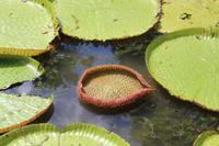 Mauritius - Botanischer Garten - Lotusblüten