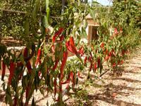 Olivenfarm