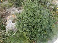 Roswitha zeigte uns außerdem das Asphaltkraut. Wer ein Blatt in den Fingern zerreibt, weiß sofort, warum die Pflanze so heißt.