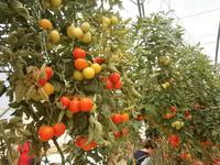Tomatenbaum - 7 Meter
