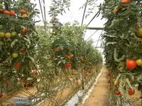 Tomatenbäume