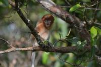 Kalimantan Nasenaffe 6