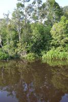 Kalimantan Sequojer 4