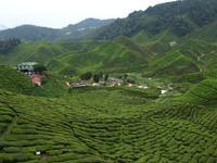 Cameron Highlands_Blick über Teeplantagen