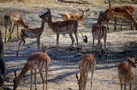 Mahangu-Nationalpark - Impalas