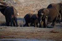 Bootsfahrt auf dem Chobe - Elefanten im Schlammloch