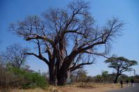 Simbabwe - Livingstones Baobab