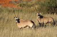 Oryx als Doppelpack