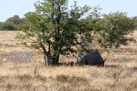 Nashorn unterm Schattenbaum