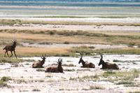 Safari im Etosha - Kuhantilopen