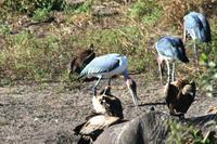 Ohrengeier, Weißrückengeier, Marabus und ein toter Elefant