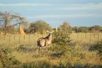 Antilope auf der Otjiwa Lodge