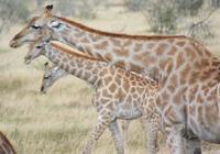 3 Giraffen im Etosha Park