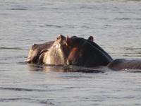 Sambesi Hippo