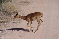 Okanjati Wildreservat - Impala