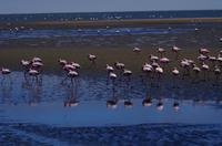 Flamingos in der Lagune von Walvis Bay