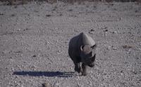 Etosha Nationalpark - gereiztes Spitzmaulnashorn