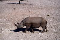 Etosha Nationalpark - Spitzmaulnashorn