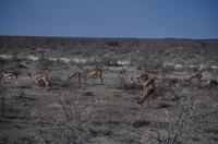 Etosha Nationalpark - Springböcke