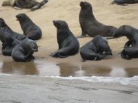 Walfisch Bay Robbenkolonie
