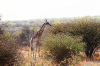 Etosha NP - Giraffe