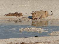 Etoscha Löwe am Wasserloch