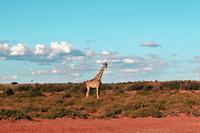 Giraffen während der Sundowner-Fahrt auf dem Gelände der Anib Lodge