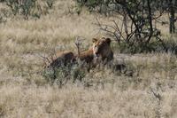Löwe auf der Eldorado Farm