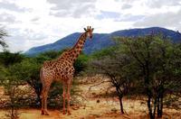 Pirschfahrt - Giraffe