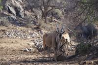 Namibia - Pirschfahrt im Reservat - Eland-Antilopen