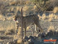 Gepard am Eingang zum Köcherbaumwald