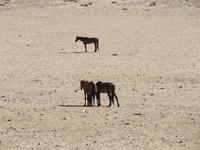 Wildpferde bei Aus