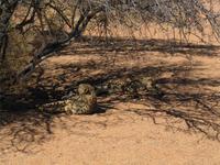 Geparden in der Hammerstein-Lodge