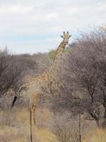 Giraffe an der Straße