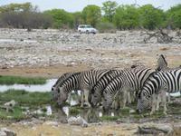 Etoscha-Park - Zebras