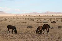 Wildpferde in der Kalahari