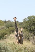 Giraffen im Etosha