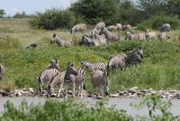 Zebras am Wasserloch im Lodgegeländer
