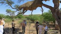 0008 Kalahri -Nest vom Siedlerwebervogel