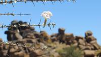 0056 Spielplatz der Riesen - Blüte vom Silberbusch