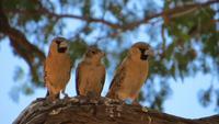 0538 Ausflug nach Sossovlei - Siedlerwebervögel