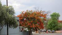 0965 Fahrt zum Etoscha-NP - Ouito - Feuerbaum