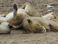 1072 Etoscha-Nationalpark - Löwen