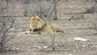 1076 Etoscha-Nationalpark - Löwen