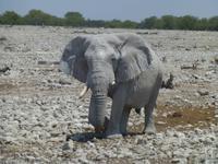 Elefant bei Okaukuejo