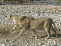 verliebtes Löwenpärchen