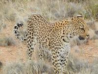 Leopard in der Hammerstein Lodge